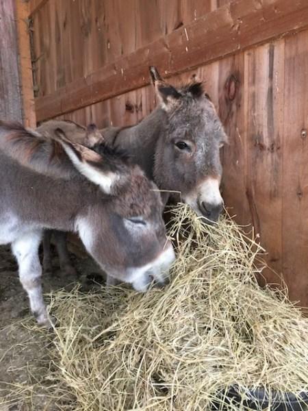 Lulu and Fanny enjoying their Thanksgiving hay