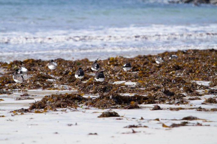 Wading sea birds at low tide in amongst the sea weed