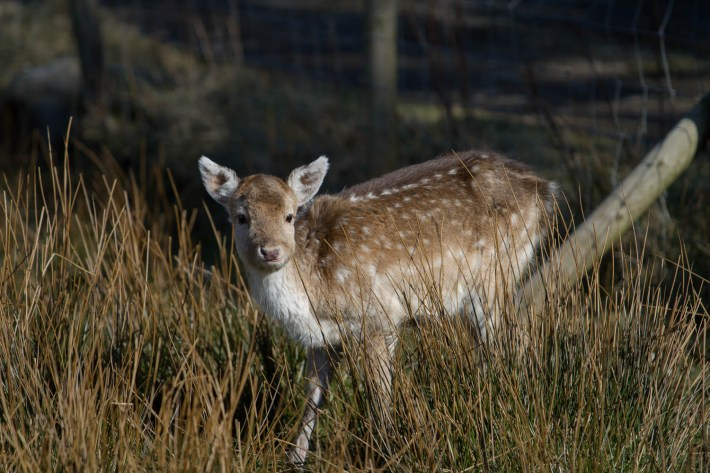 A roe deer in a field