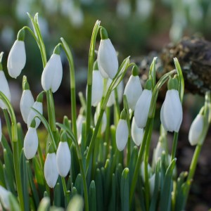 Scone Palace, Celebration of Snowdrops, Perthshire, Travel guide to Scotland
