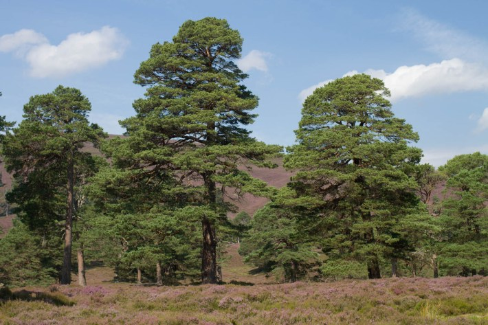 Lui Water, Mar Lodge Estate. Tall pine trees amongst the heather on the hills