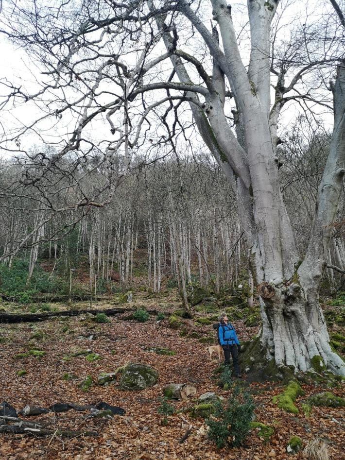 Weem Forest in winter. Man stood besides a large beech tree