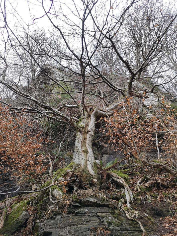 A large tree growing out of a cliff edge.