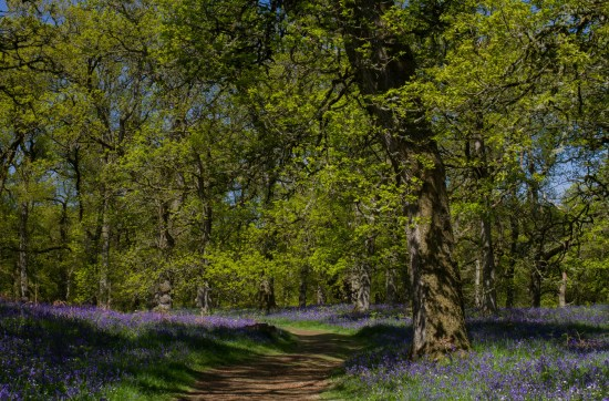 Bluebell woods in Perthshire