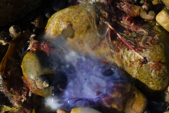 Wildlife in Scotland. Jelly fish on a rock