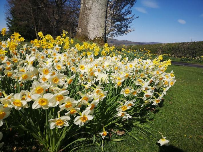 Spring daffodils in Scotland - little walks from home during lockdown