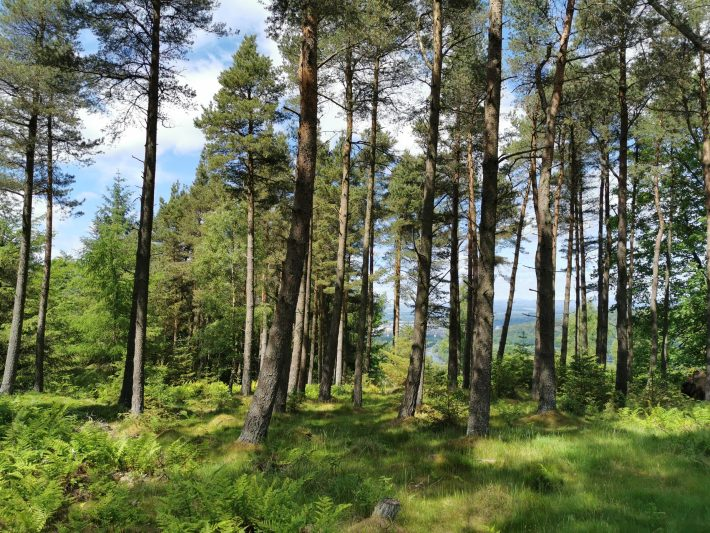 Image of: Tall pine trees in the foreground. The ferns are tall and green and it's a sunny day.