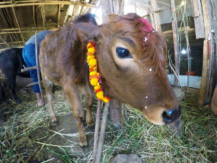 Tihar Festival Tanting Village Nepal