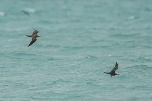 Brown Noddys ( Anous stolidus) feeding at Bush Key