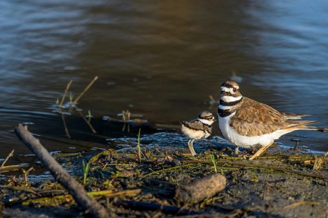 Killdeer (Charadrius vociferos) chicks and adult