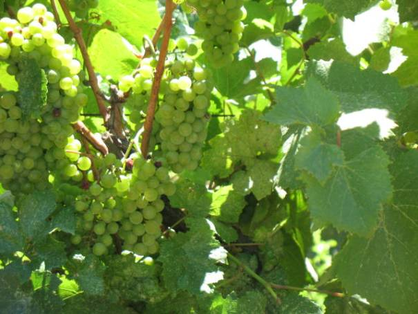 Grapes today, wine tomorrow
