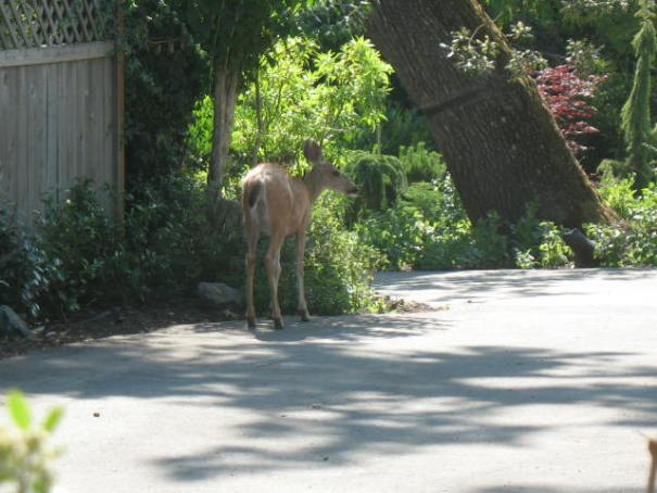 Edie is convinced that this is the deer that yesterday tried to commit suicide by jumping out of the bushes onto the side of our car.  She thinks it is sauntering with a limp!