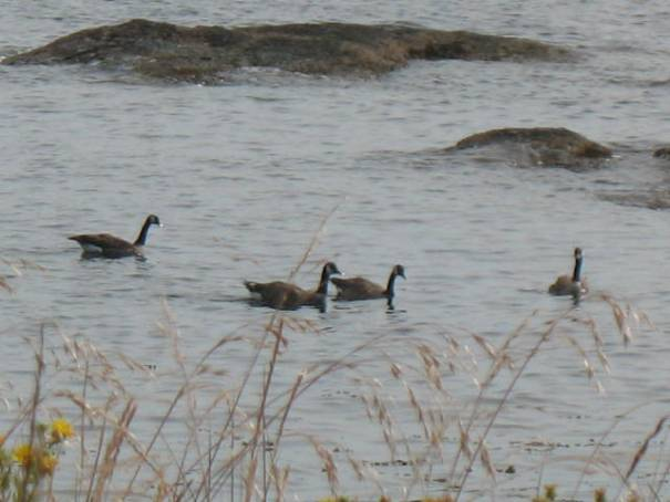 We never see these geese in the water at home.  They are either in the air or on the lawn eating.