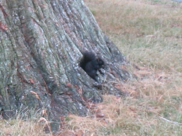 Jet Black Squirrel.