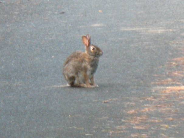 Bunny in drive way.