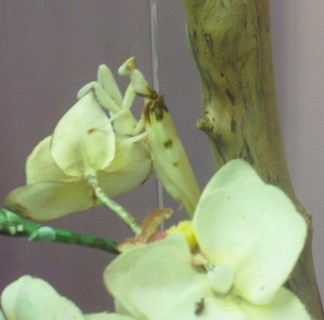 Orchid mantis.  Guide says they look like an orchid and when a bee comes they grab them and start to eat them within 1/20th of a second.