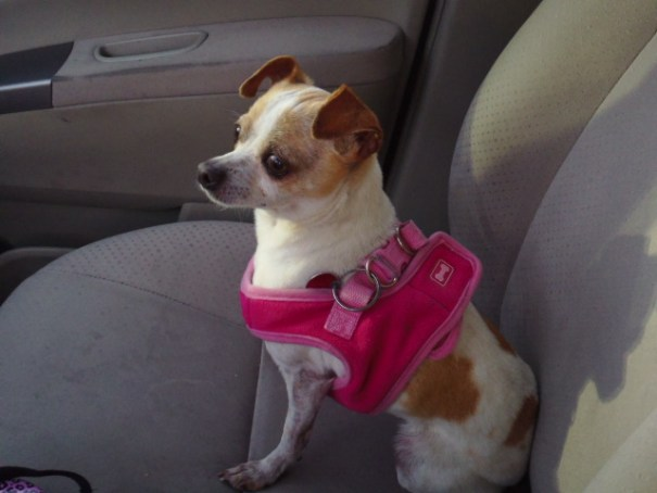 Our dog Kiki in her pink bra.