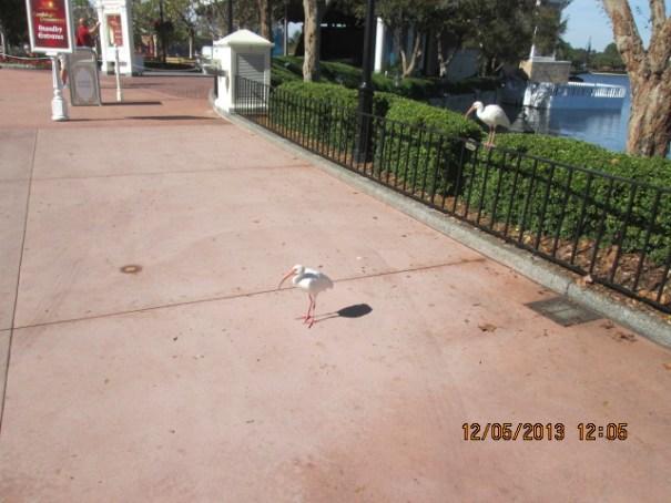 White Ibis beggars.