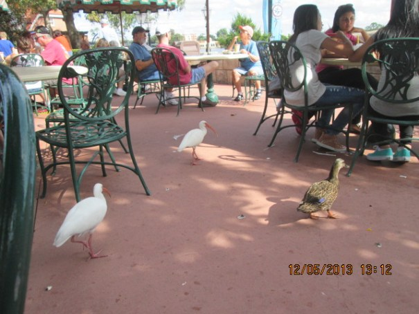 Witnessed an Ibis Duck squabble.  It was not a pretty sight.