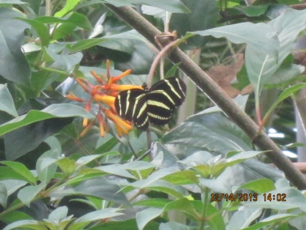 Unusual butterfly feeding on the unusual flowers.