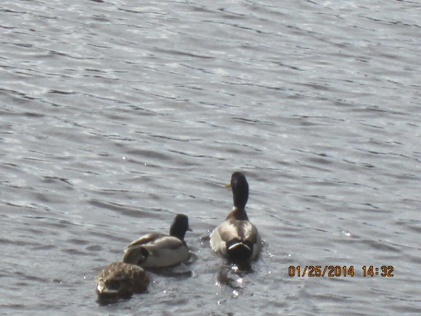 Ducks in the canal in our back yard.