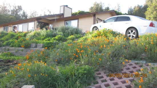 Edie loves the California Poppies and Lavender that bloom wildly in the spring at our place.
