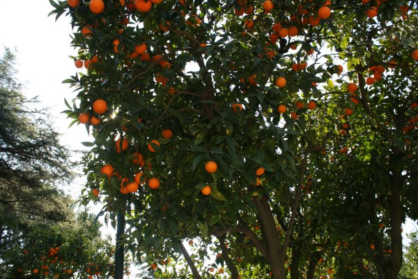 Orange trees, mature with fruit, growing randomly.