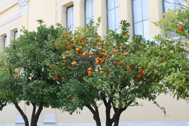 Orange trees in lots of places