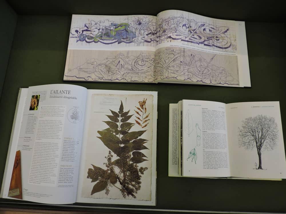AILANTO - Ailanthus altissima - Una delle teche