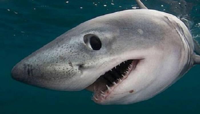 Καρχαρίας βγήκε στα ρηχά σε παραλία της Εύβοιας. Βίντεο
