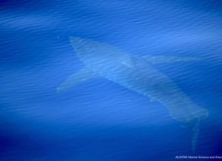 Avistamiento tiburón blanco por Alnitak