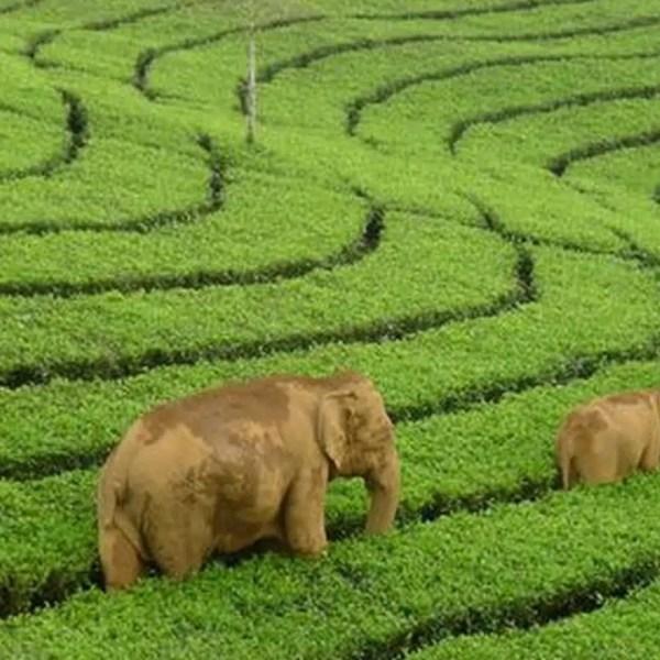 Thekkady and Munnar : Tea & Wildlife Tour Package Tour