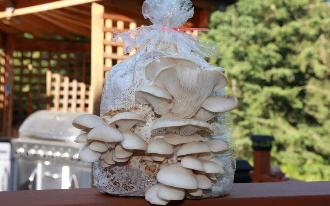Greenhouse – Pearl Oyster Sawdust Blocks