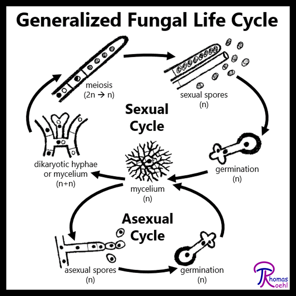 Life cycle of fungi asexual