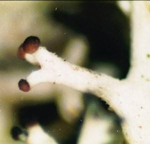 Reindeer Moss Apothecia