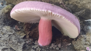 #175: The Genus <em>Russula</em>