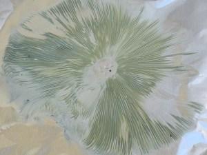 C. molybdites spore print