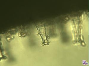 Pluteus cervinus cystidium