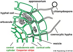 arbuscular mycorrhiza diagram