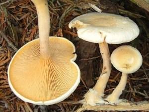 Pale Hygrophoropsis aurantiaca