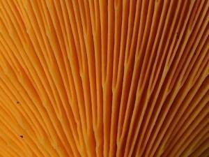 Hygrophoropsis aurantiaca gills