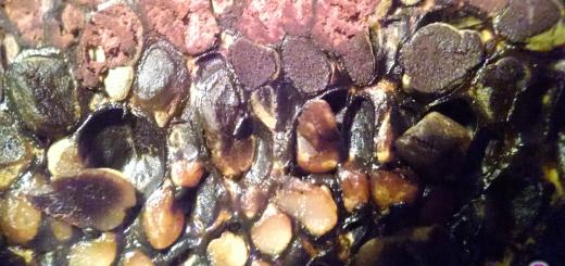 Pisolithus arrhizus peridioles