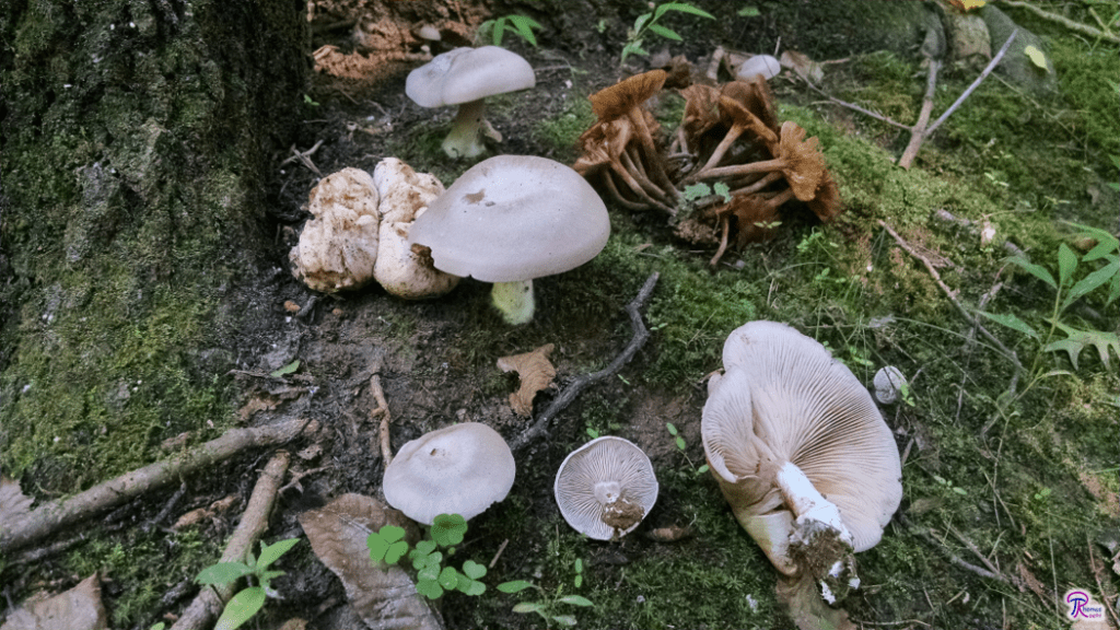 Entoloma abortivum with aborted fruitbody and honey mushrooms