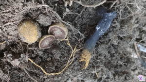 #197: <em>Tolypocladium ophioglossoides</em>, The Golden Thread Cordyceps