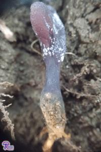 Tolypocladium ophioglossoides