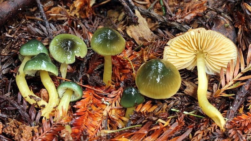 Gliophorus psittacinus
