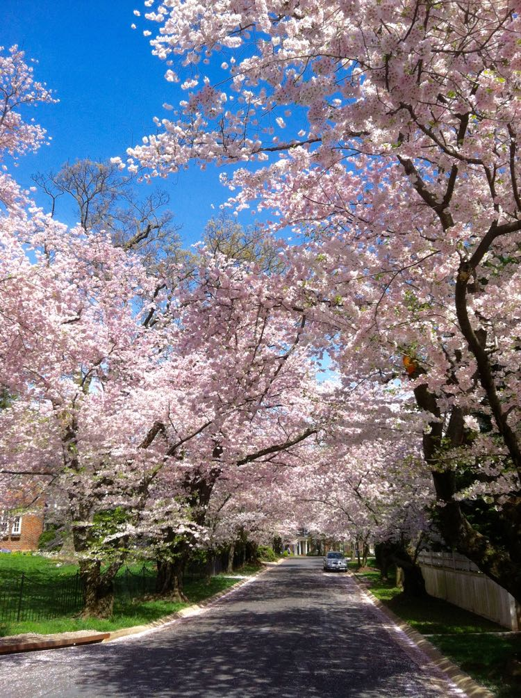 cherry blossoms Kenwood road