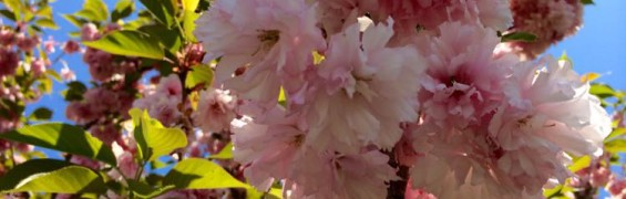 Kwanzan cherry blossoms Frying Pan Park Virginia