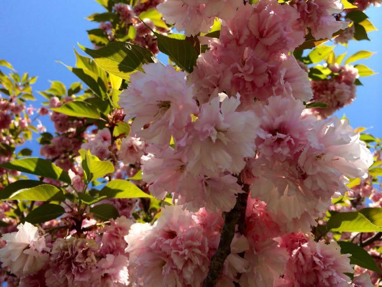 Kwanzan cherry blossoms Frying Pan Park Virginia
