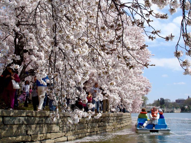 Paddle boat Cherry Blossoms Tidal Basin Washington DC